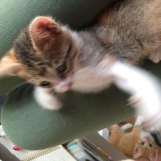 生後1ヶ月半☆三毛猫の女の子