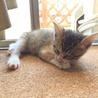 生後1ヶ月半☆三毛猫の女の子 サムネイル2