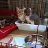 生後1ヶ月半☆三毛猫の女の子 サムネイル3