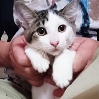 賢いサバ白甘えん坊子猫エイトちゃん!
