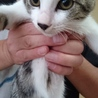 将来かっこよくなりそうサバ白子猫テン君!