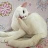 【白猫シロウちゃん 】福島で保護されました サムネイル3
