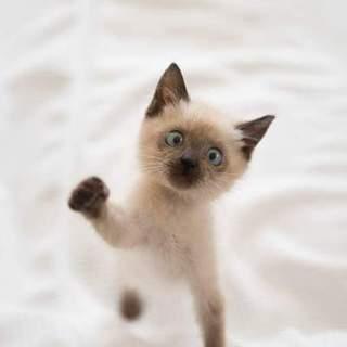 とっても可愛いシャムMixの仔猫