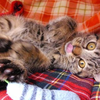 お腹を出して寝ちゃう生後3カ月のキジトラ♂です!