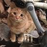 軽井沢の猫達① 究極の構って君 茶トラオス1歳