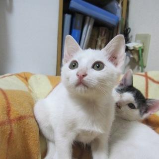 お膝大好き人なつこい白猫 つむぎ君