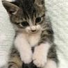 可愛い子猫ちゃんの里親さんを募集します