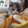 めちゃくちゃ可愛い子猫を保護しました。