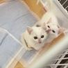 可愛い白猫ミルク