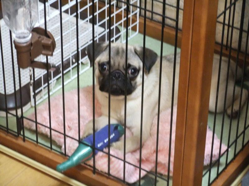 Resultado de imagen para 犬 pug ケージ