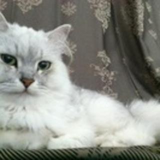 長毛の白くてふわふわです。