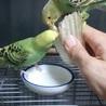 オーバリン抹茶 オス孵化後40日〰若鳥