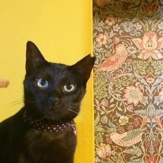 撫でてー!のツンデレ美猫黒猫の黒豆ちゃん