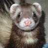 Love ferretさん