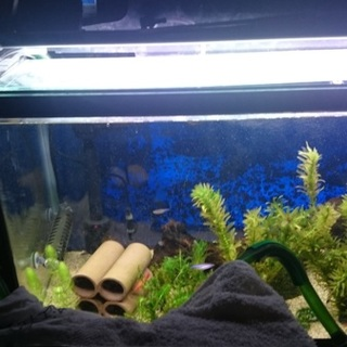 60cm水槽一式+熱帯魚を譲ります