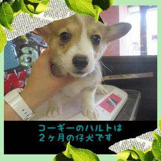 コーギー子犬のハルト君は2か月の男の子です。