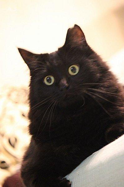 長毛黒猫の美猫、千夜ちゃん」神奈川県 , 猫の里親募集(90706