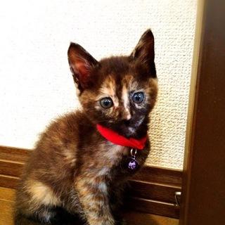 美人のサビ猫ミャーちゃん♀