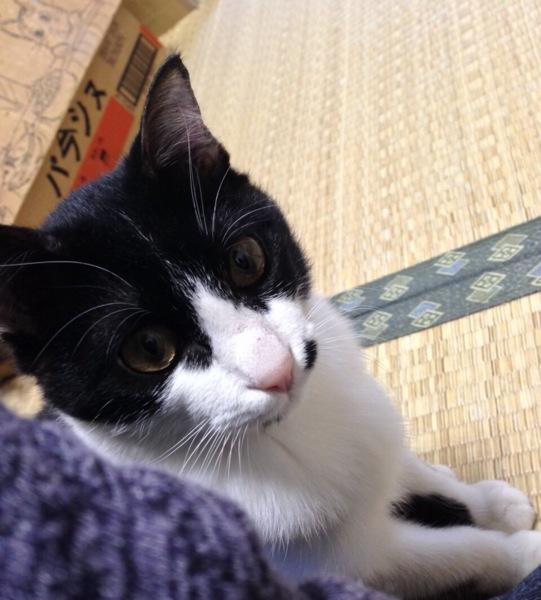 「【白黒】うしさん(仮名)」三重県 - 猫の里親募集(79694)