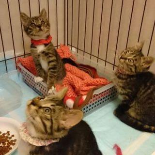 美猫キジトラ三姉妹、800gの天使たち