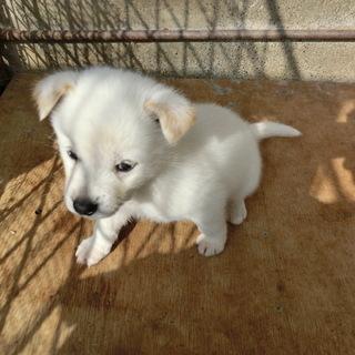 白くまのような紀州犬の赤ちゃん