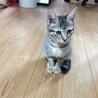 可愛いキジ猫のさくらちゃん