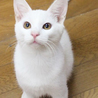 白い猫のマーモル君です♪お見合い予定。