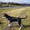 狂犬病注射も終わり ようやく賀茂川散歩デビューしました。