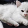 甘えん坊、生後1ヶ月のメス白猫