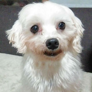 ★★ハッピー犬のマルチーズちゃん★★