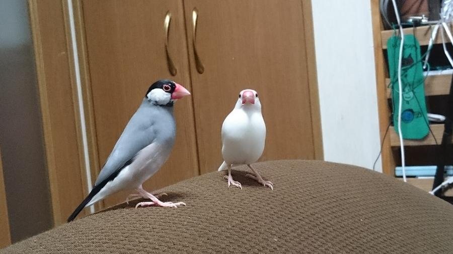 オスメス 文鳥