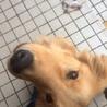 小柄でかわいいゴールデンレトリバー 11ヶ月  サムネイル2