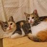 2カ月の三毛ちゃん姉妹 避妊終わりました。
