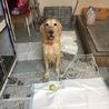 飼育放棄 劣悪環境からの保護犬 G.レトリバー
