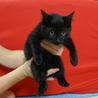 ☆可愛い黒猫の子猫☆