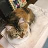 ふさふさシッポの三毛猫さん サムネイル7
