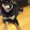 毛並みの美しいかわいい黒柴の子犬