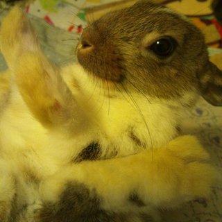 ライオンラビットmix&ミニウサギの間の子ウサギ