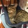 キジ猫のそらちゃん★8ヶ月★男の子ワクチン済 サムネイル2