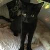 黒ちゃん子猫♥えりちゃん♥8か月女の子