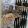 錦華鳥のヒナ さし餌でクチ開きます