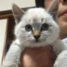 シャム猫に似た綺麗な白い子猫です!