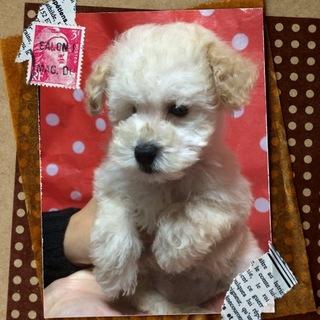 子犬トイプ・リズムちゃんはお利口な女の子