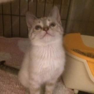 遊ぶの大好き元気いっぱいシャム雑種子猫!