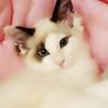 青い目の猫王子マリオちゃん