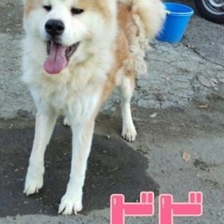 かわいそうな秋田犬のビビちゃんのお家探しています。