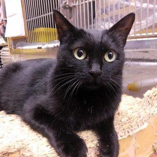 成猫ですが、小柄で可愛い黒の女の子です!