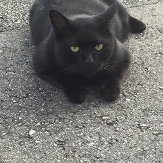 黒猫ボブテイル 官兵衛君
