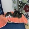 5日目、朝起きると2匹で猫ベッドに入ってました。ミミちゃん不機嫌そう。