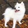 真っ白ふわふわの仔犬日本スピッツ